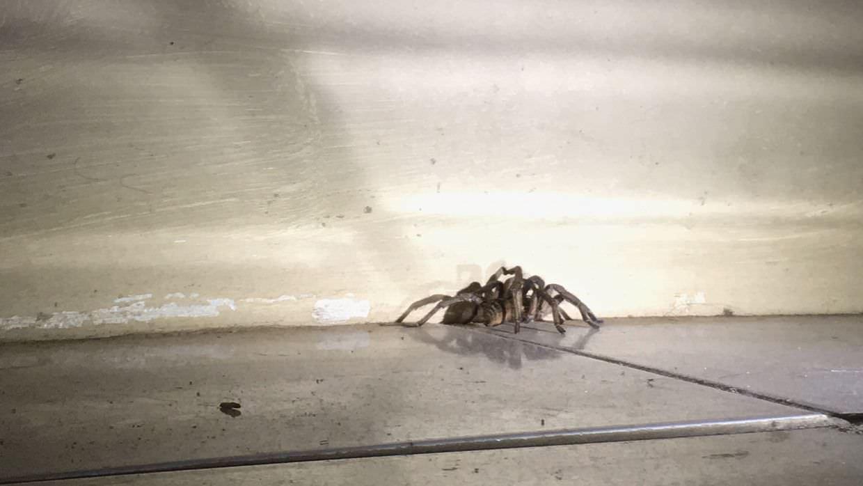 Baboon spider, a type of tarantula