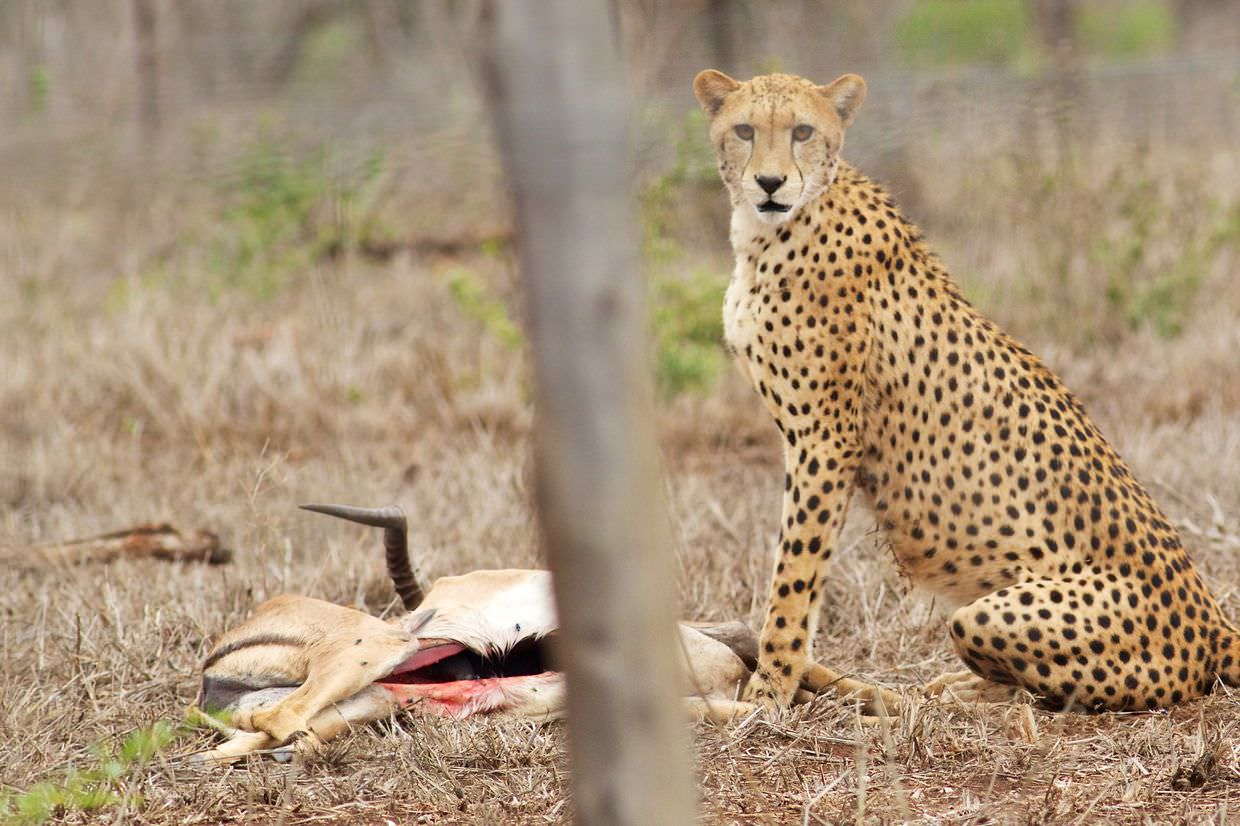 A cheetah, awake, beside the impala we provided