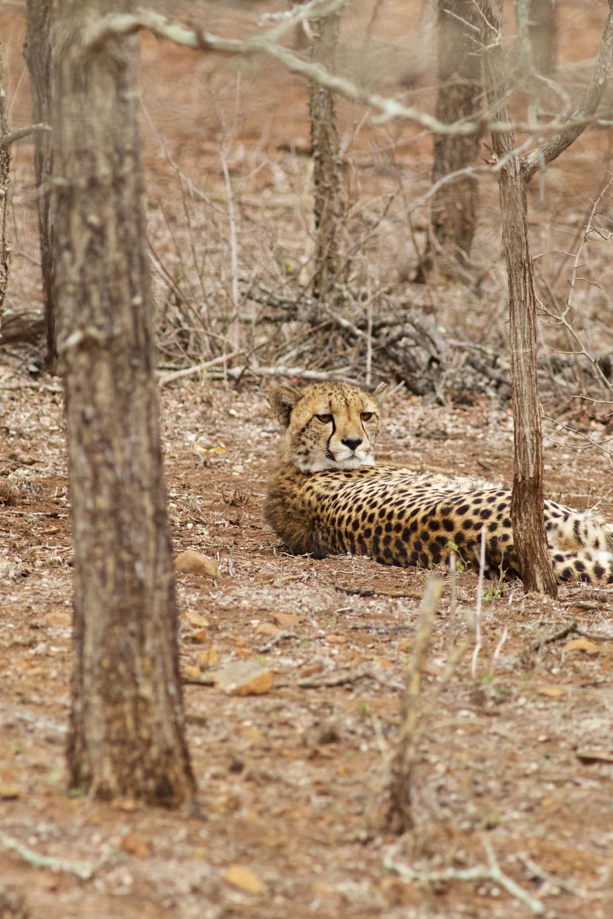 One of the two cheetah lying between the trees
