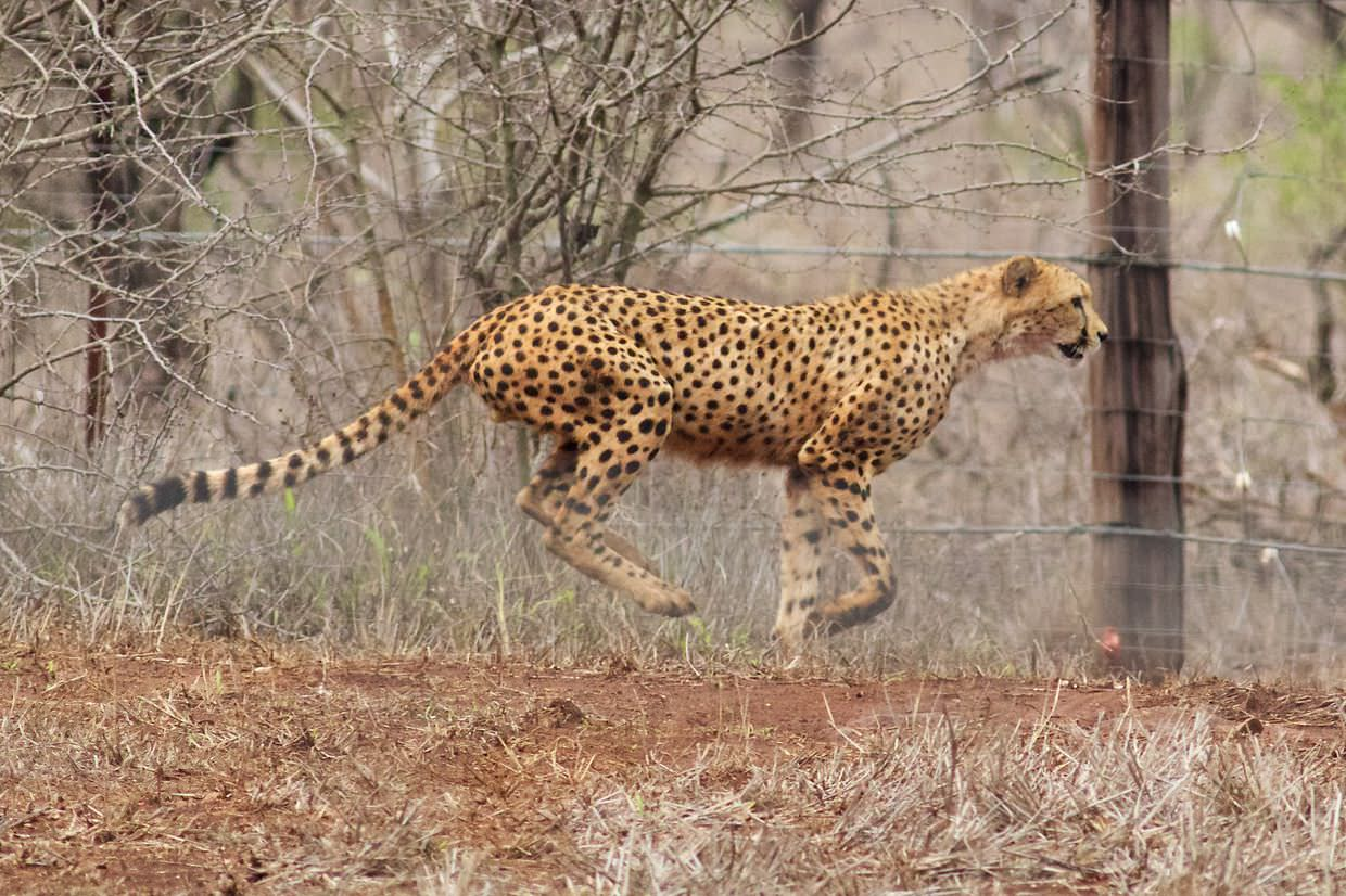 The other male cheetah, running along the edge of the boma