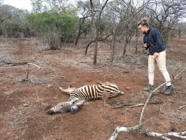 Dani investigating a dead zebra