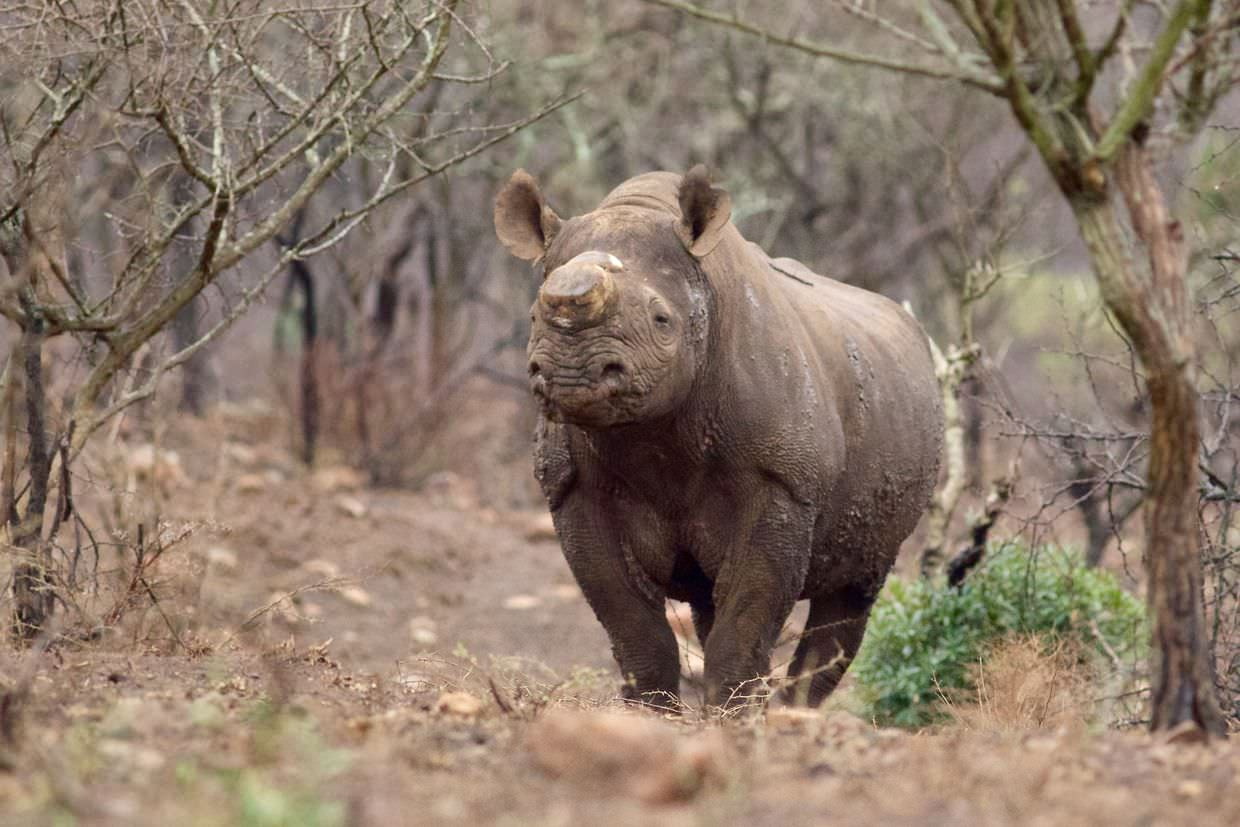 A nervous dehorned black rhino