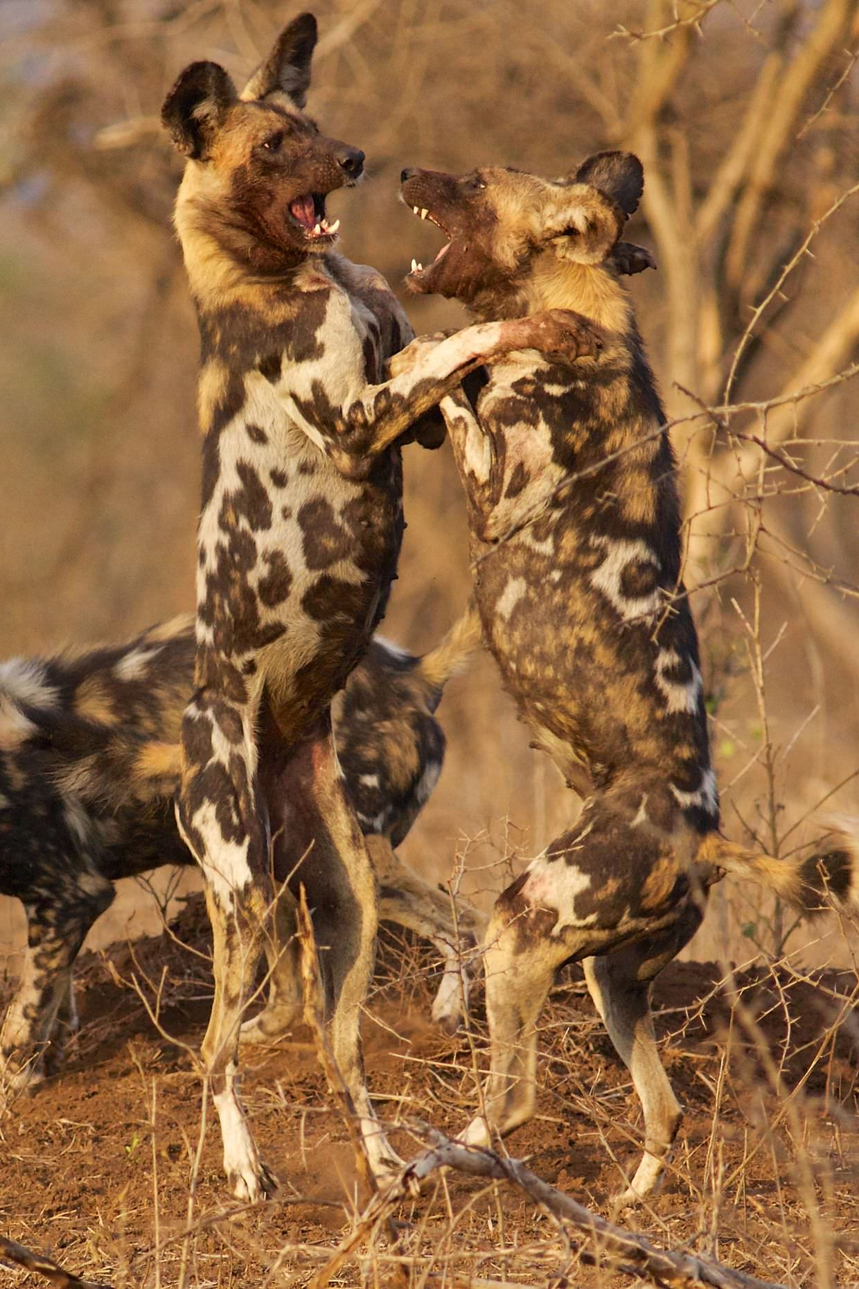 Wild dogs play fighting in the morning sun