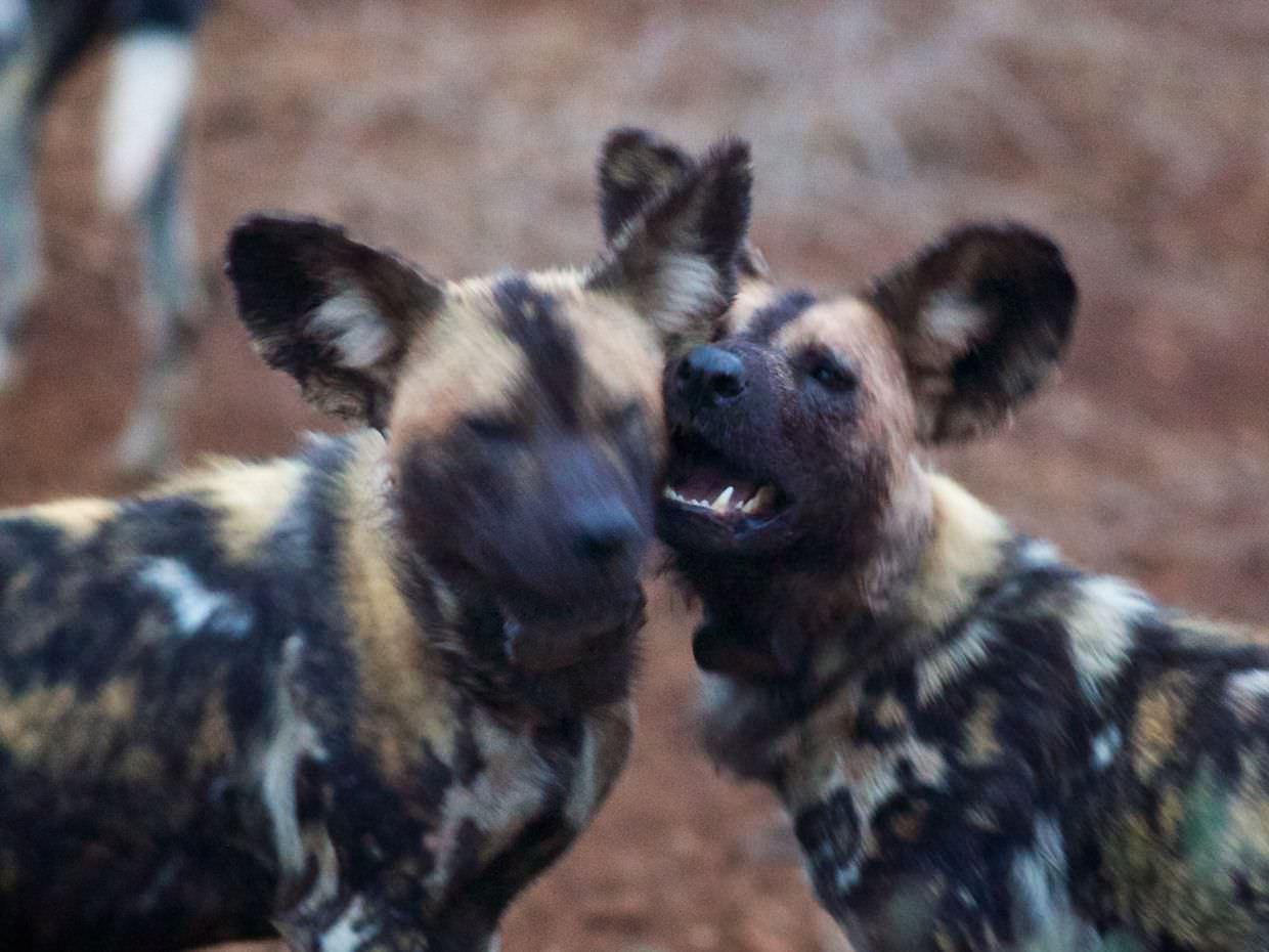 These two wild dogs love each other. They're playing after feeding.