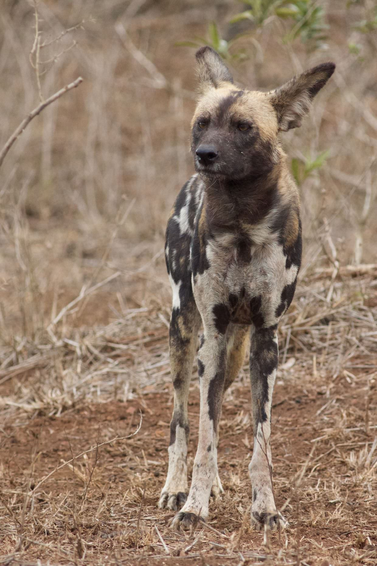 Portrait of a wild dog