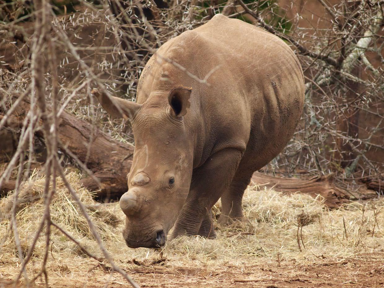 A rhino at a feeding site