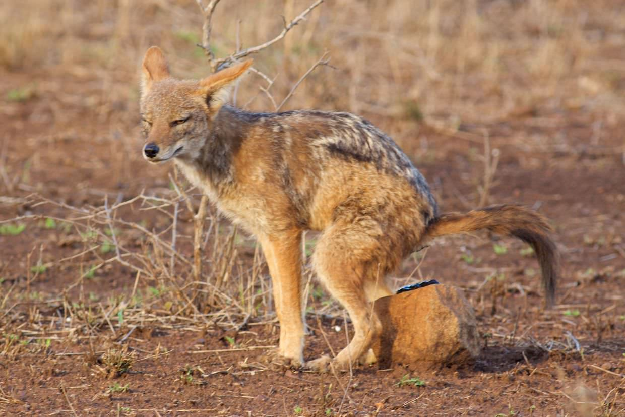 A smug jackal shitting on a rock