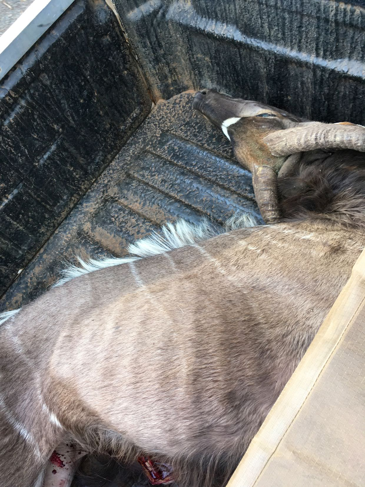 Welcome to ZRR, here's a dead nyala