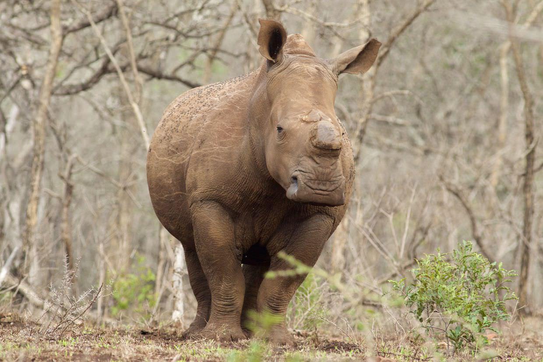 White rhino near a feeding site