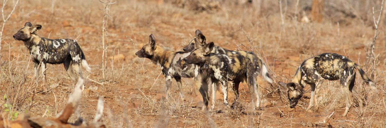 ZRR's wild dog pack