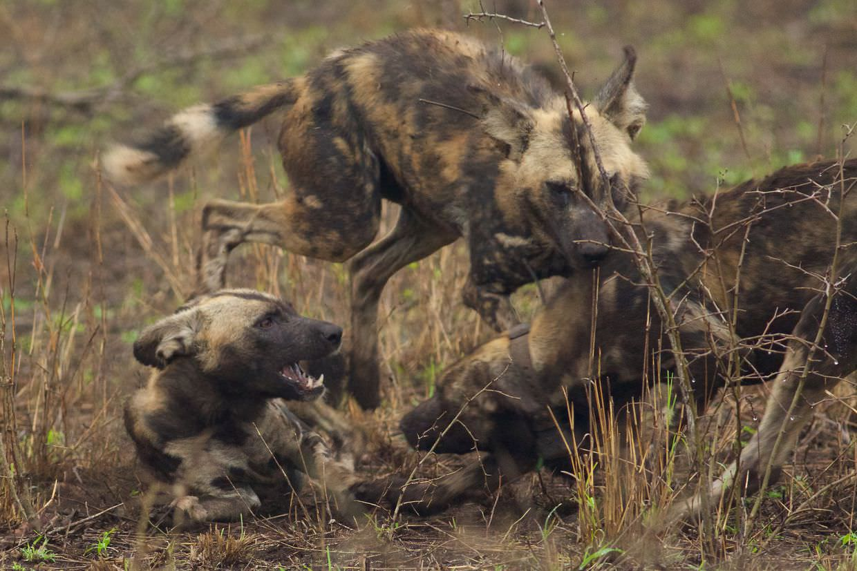 Painted dogs covering themselves in mud