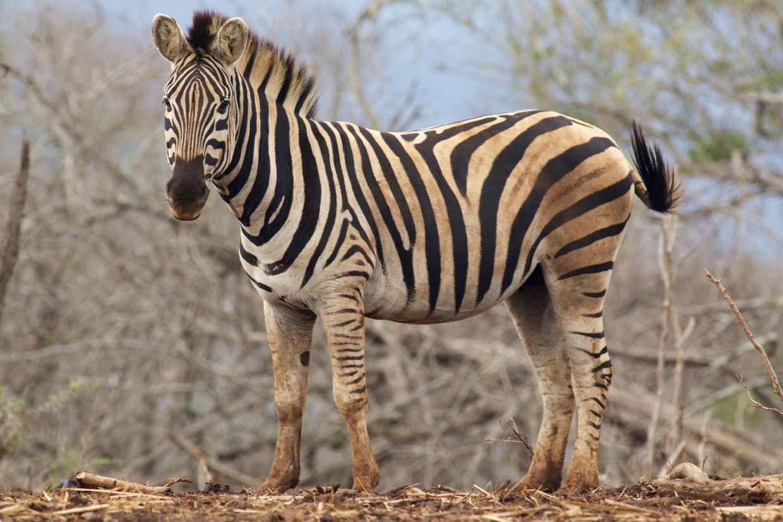 Zebra at a feeding site