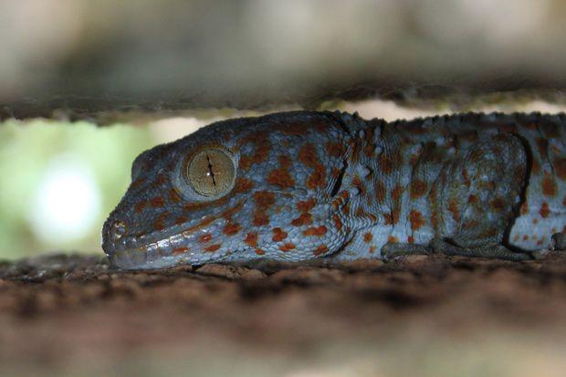 A Tockay Gecko