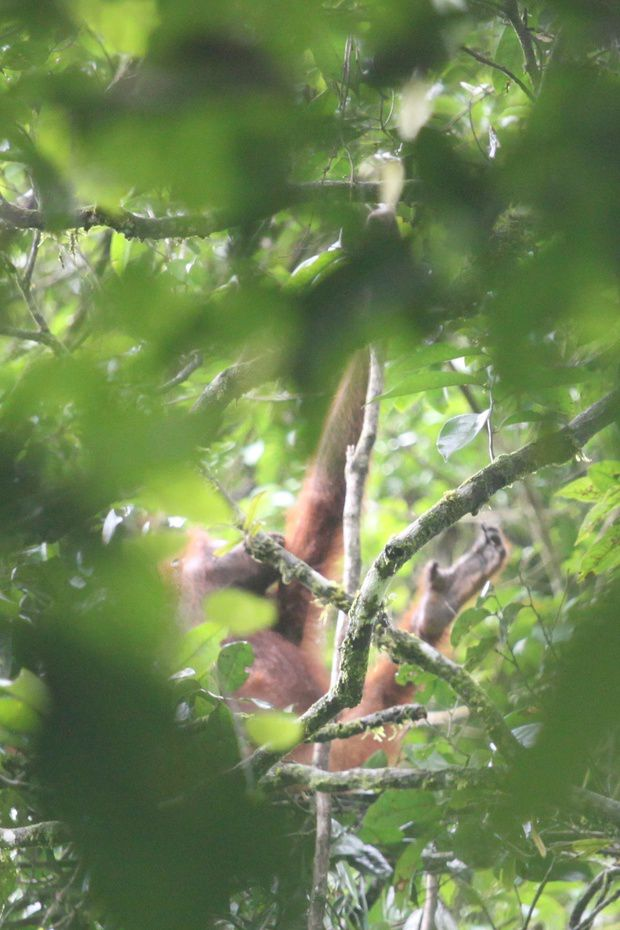 Wild orang-utan amongst the foliage