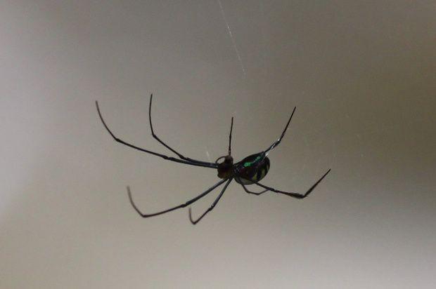 Unidentified green-bellied spider