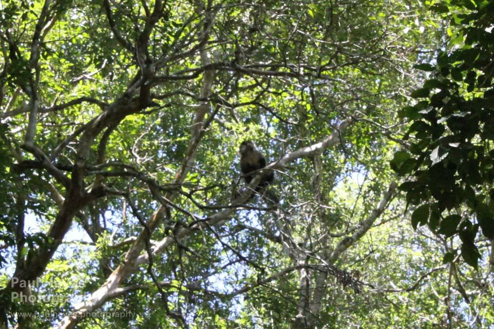 Capuchin monkey near Iguazu falls