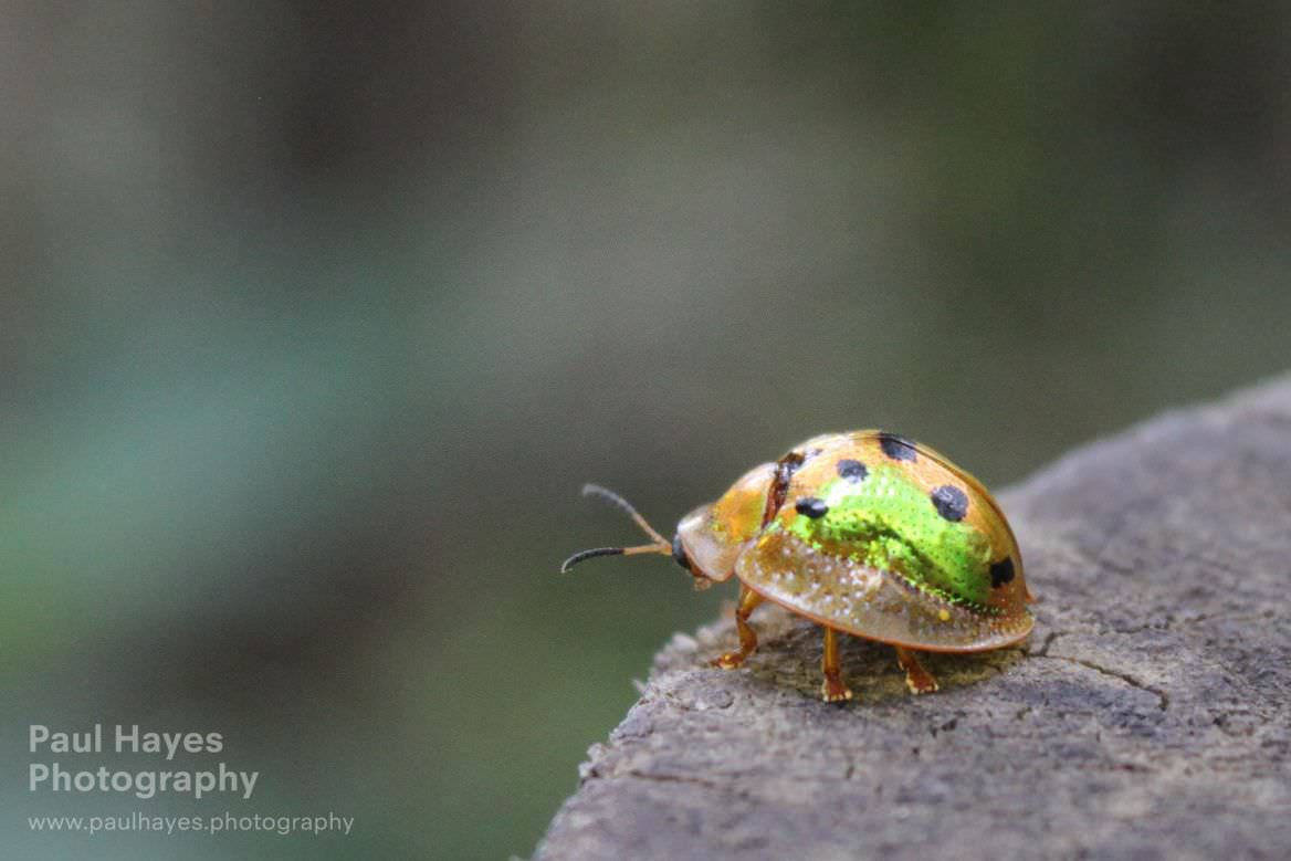 Luminescent tortoise beetle