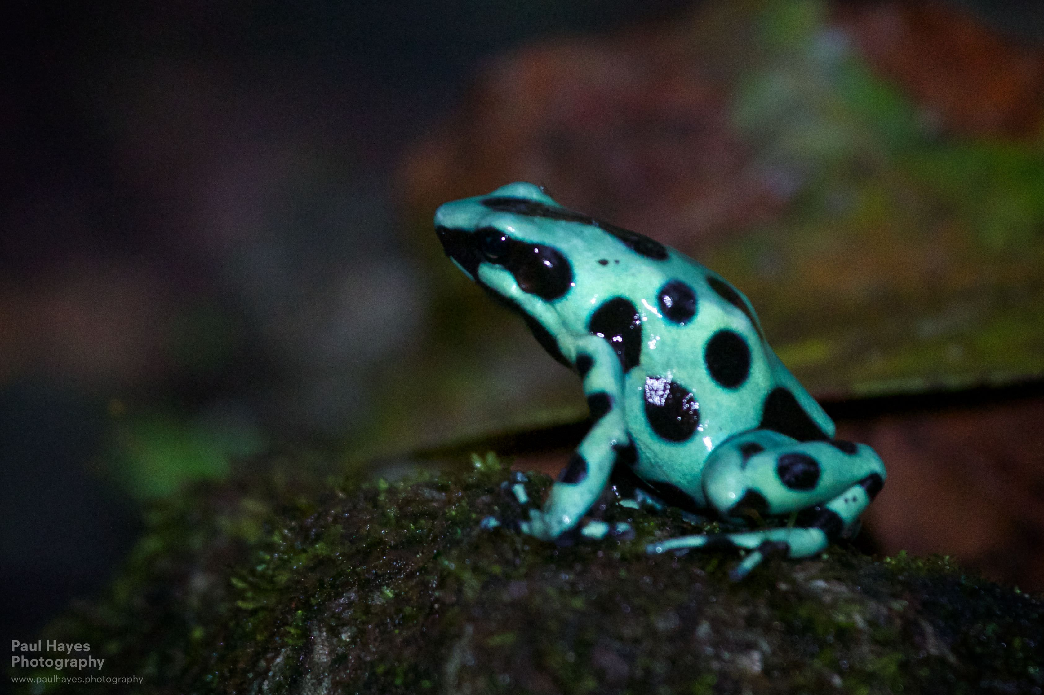 Sloth sanctuary and poisonous frogs – Cahuita, Costa Rica Are Green Frogs Poisonous