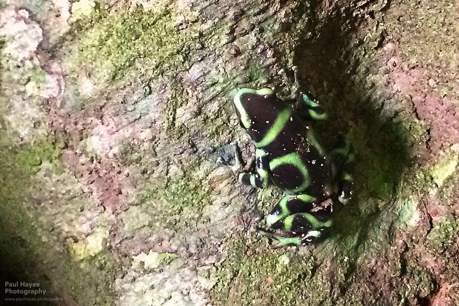 Phone shot of black and green dart frog