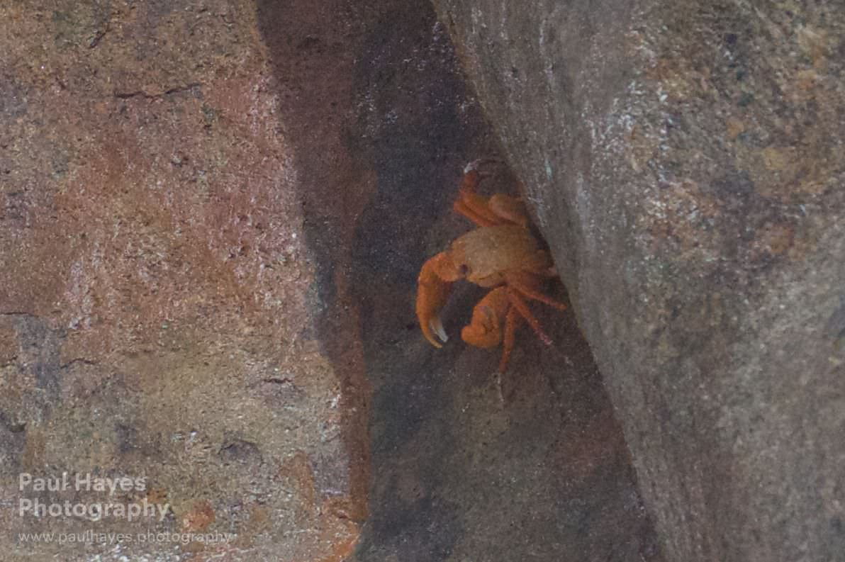 An unidentified crab, looks like an orange crab but is too large.Possibly a small mangrove crab.