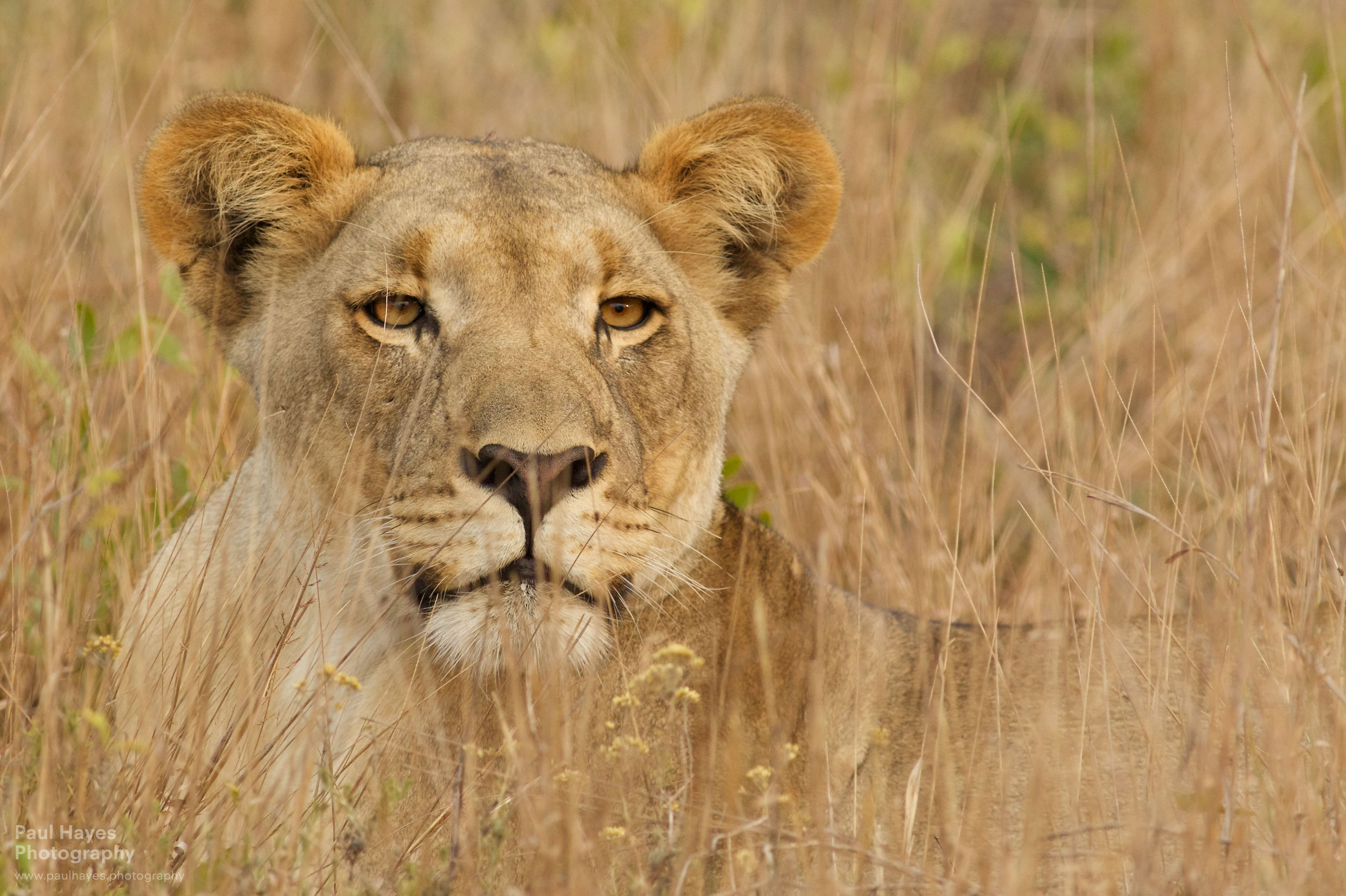 Finding lions, tempting Elsa – Tembe Elephant Park, South ...